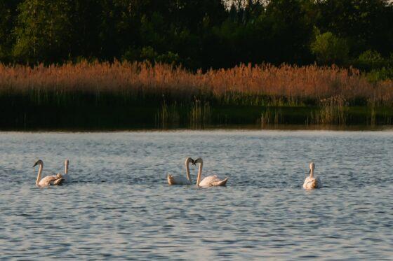 Стая лебедей поселилась на озере в Тверской области