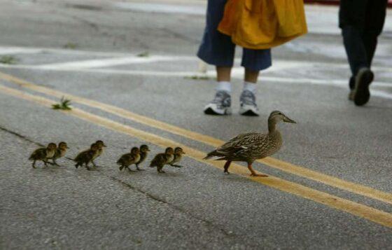 В Тверской области люди помогли утиной семье перейти дорогу
